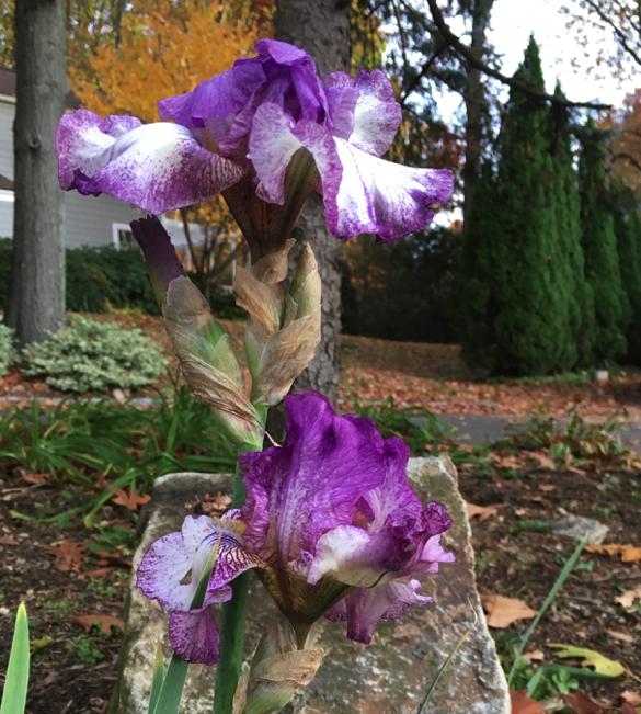 second-iris